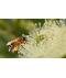 FEWSTER Jarrah Honey TA30+ (Premium Quality / Certified Organic)